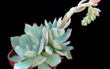 Echeveria strictiflora (Desert Savior)