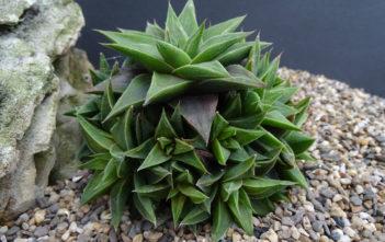 Haworthia angustifolia var. baylissii aka Haworthia baylissii