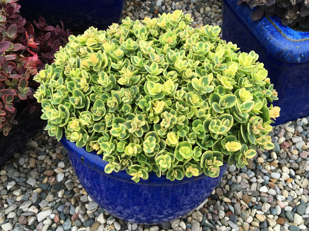 Hylotelephium 'Lime Twister' (Lime Twister Stonecrop) aka Sedum 'Lime Twister'