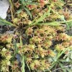 Sedum caespitosum (Broad-leaved Stonecrop)