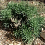 Tylecodon cacalioides (Sulphur Butterbush)