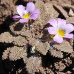 Viola chamaedrys