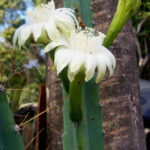 Cereus kroenleinii