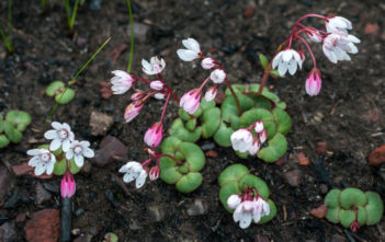 Crassula capensis (Cape Snowdrop)
