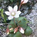 Crassula capensis (Cape Snowdrop)