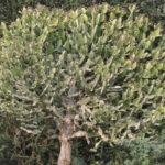 Euphorbia antiquorum (Antique Spurge)