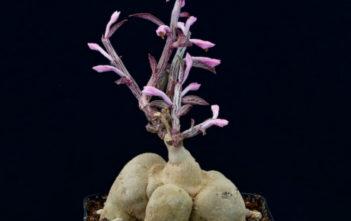 Euphorbia neorubella (Red Monadenium) aka Monadenium rubellum