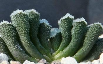 Haworthia truncata var. minor
