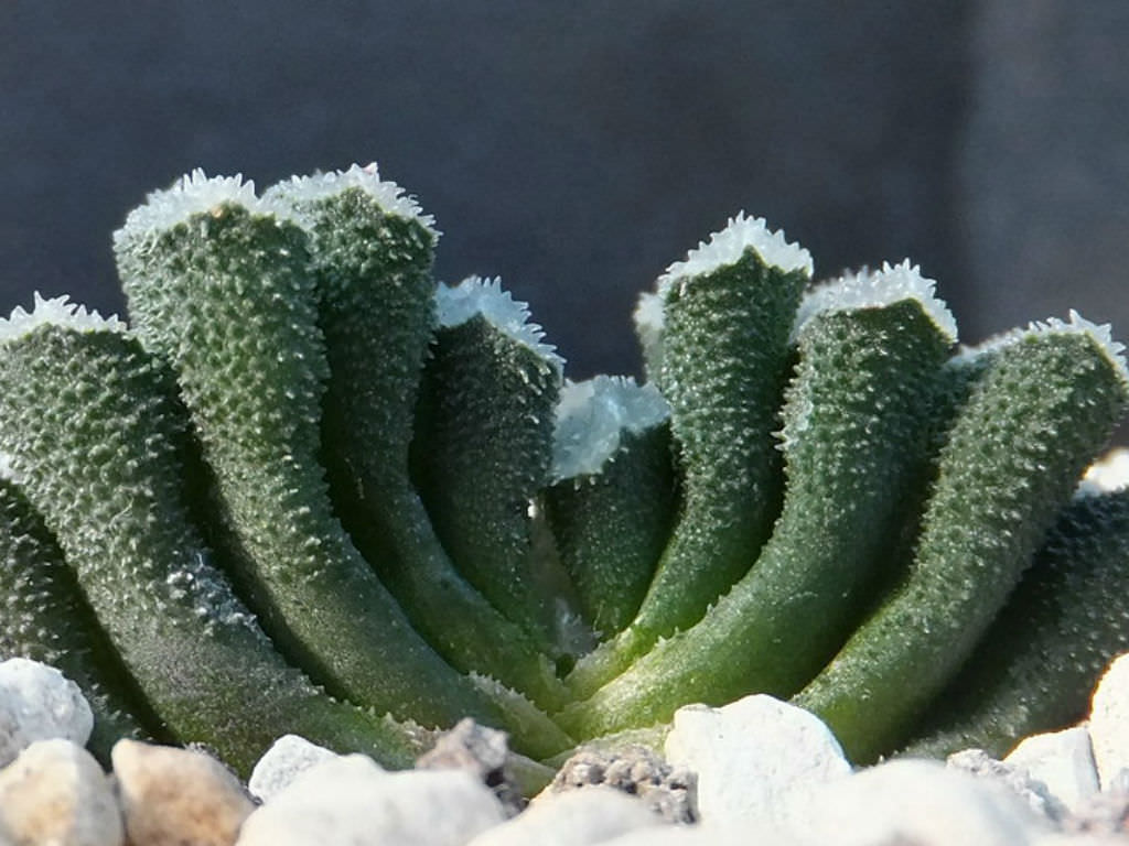 Haworthia truncata var. minor