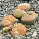 Lithops hookeri (Living Stones)