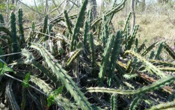 Cereus phatnospermus