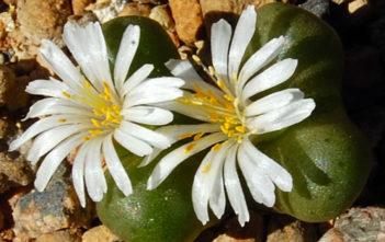Conophytum roodiae