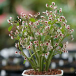 Euphorbia guiengola (String of Stars)