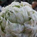 Haworthia lockwoodii (Onion-like Haworthia)