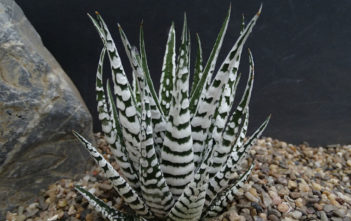 Haworthiopsis attenuata 'Super Zebra', aka Haworthia attenuata 'Super Zebra', Haworthiopsis fasciata 'Alba' or Haworthia fasciata 'Alba'