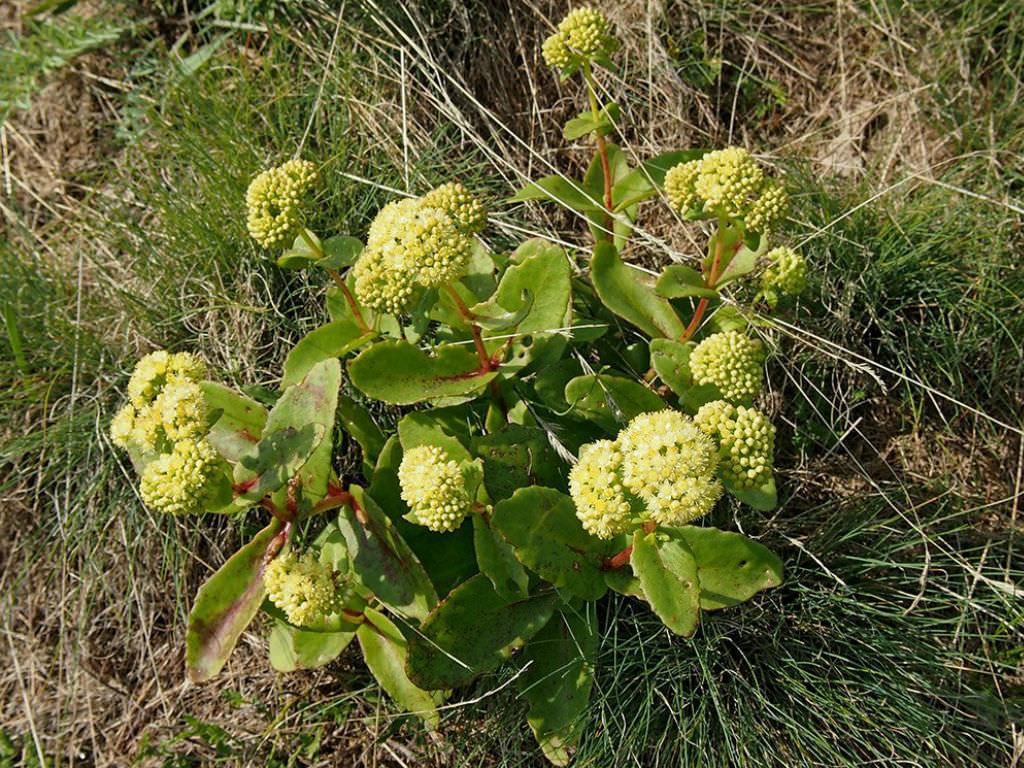 Hylotelephium maximum (Grand Stonecrop)