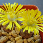 Lithops coleorum (Living Stones)