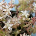 Sedum diffusum (Diffuse Stonecrop)