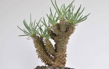 Tylecodon wallichii (Pegleg Butterbush)