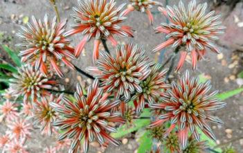 Aloe petrophila