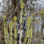 Cereus pierre-braunianus