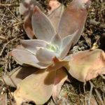 Echeveria dactylifera
