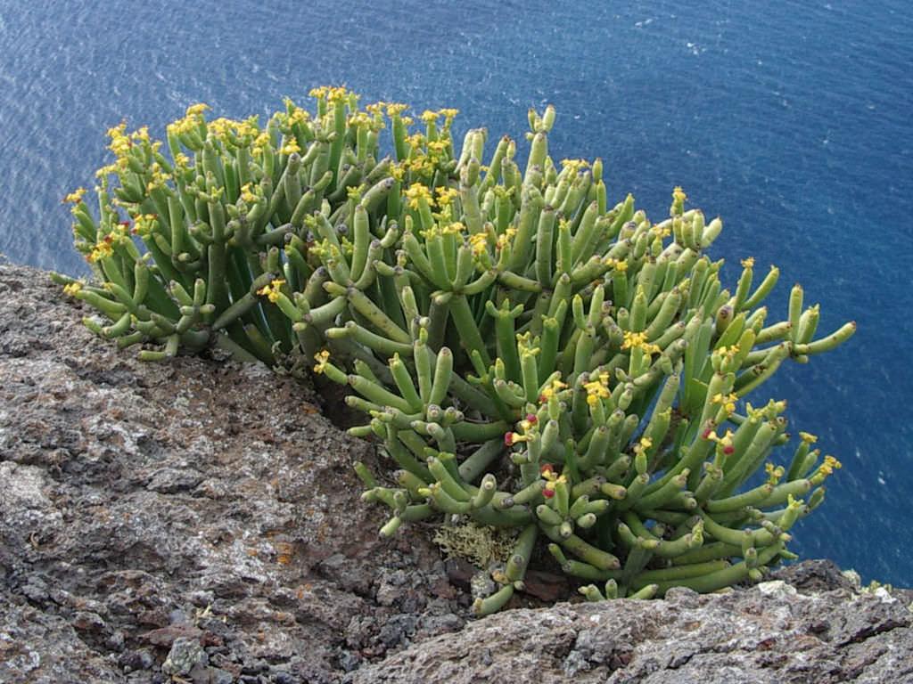 Euphorbia aphylla (Leafless Spurge)