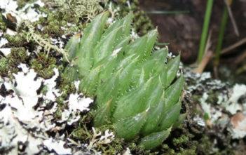 Haworthia mucronata (Glassrim Haworthia)