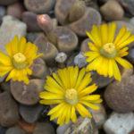 Lithops dinteri (Living Stones)