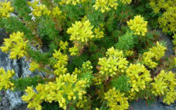 Sedum stenopetalum (Wormleaf Stonecrop)