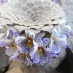 Viola pachysoma
