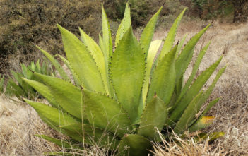 Agave inaequidens
