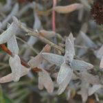 Crassula ammophila