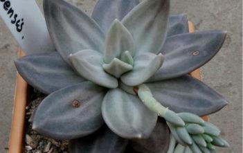 Echeveria xichuensis