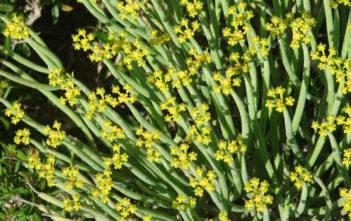 Euphorbia mauritanica (Pencil Milkbush)