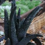 Haworthiopsis sordida aka Haworthia sordida