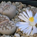 Lithops julii (Living Stones)