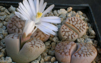 Lithops julii (Living Stones)