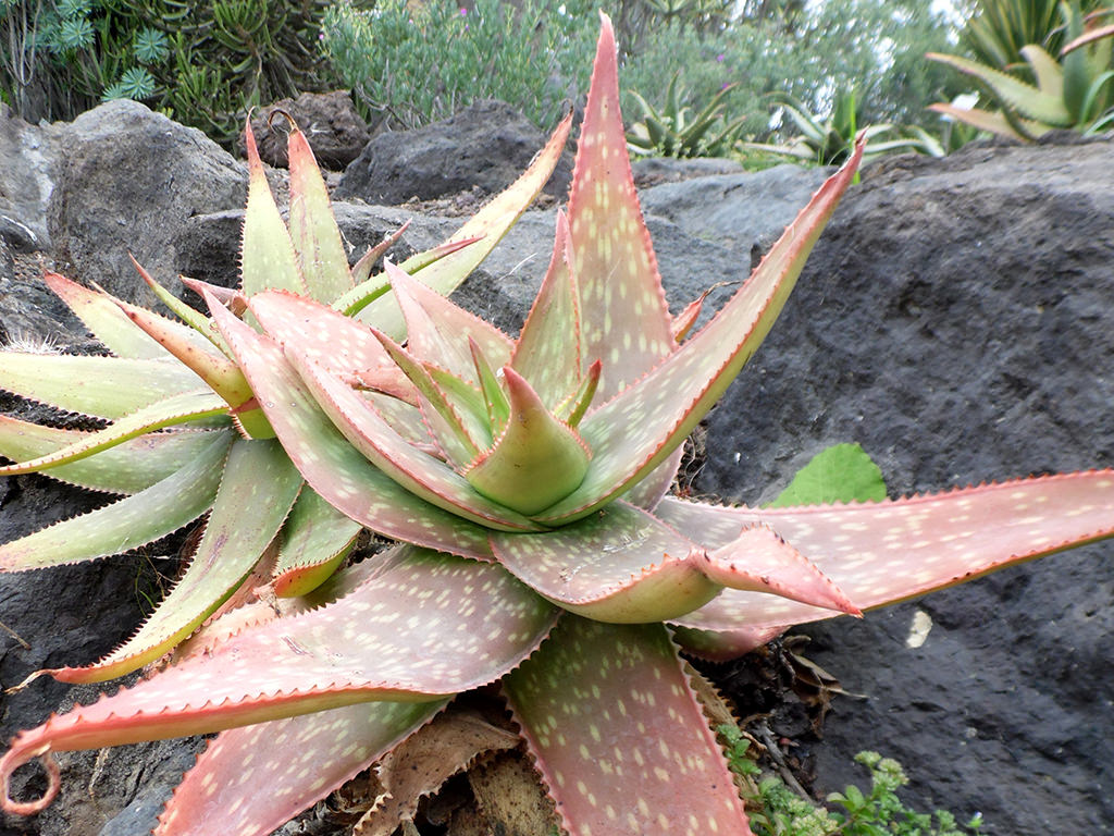 Aloe umfoloziensis