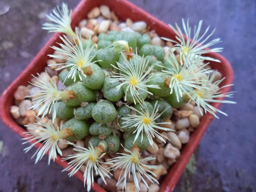 Conophytum truncatum (Eastern Buttons)