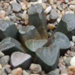 Haworthiopsis bruynsii (Pad Haworthia)