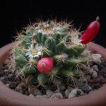 Mammillaria mammillaris (Woolly Nipple Cactus)