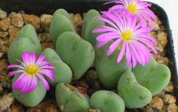 Conophytum cordatum (Living Pebble)