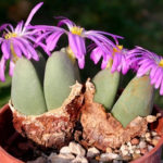 Conophytum cordatum (Living Pebble)