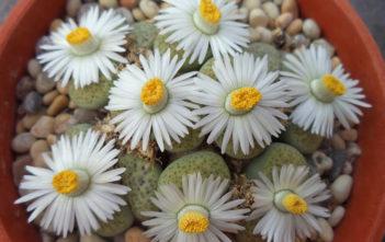 Lithops fulviceps 'Aurea' (White Living Stones)