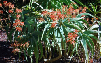 Aloe flexilifolia