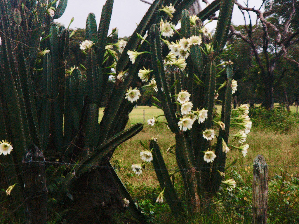 Cereus bicolor