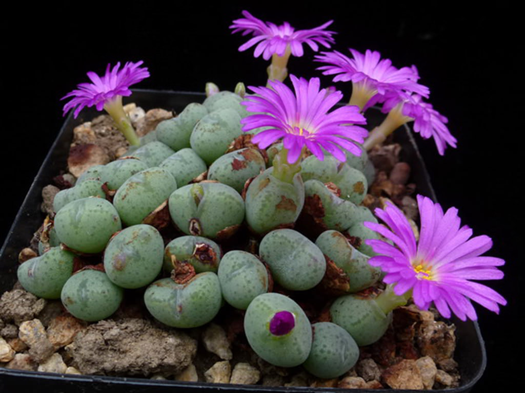 Conophytum velutinum