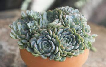Echeveria 'Azulita'