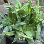 Haworthia zantneriana (High Haworthia)